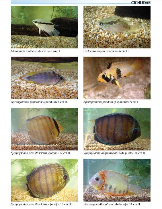 Cichlidae • Catálogo de Peixes Ornamentais do Peru Amazônico.