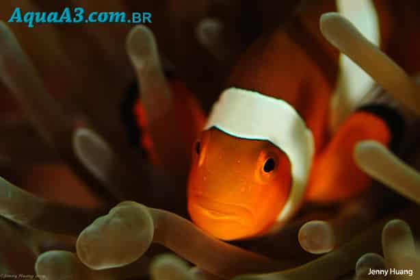 Relação dos peixes palhaços com as Anêmonas