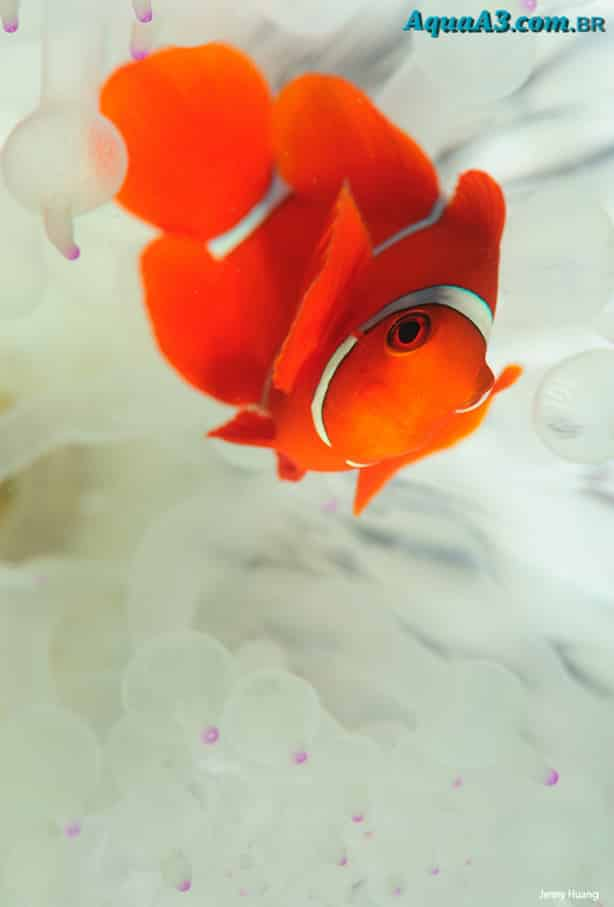 Amphiprion ocellaris - Peixe Palhaço