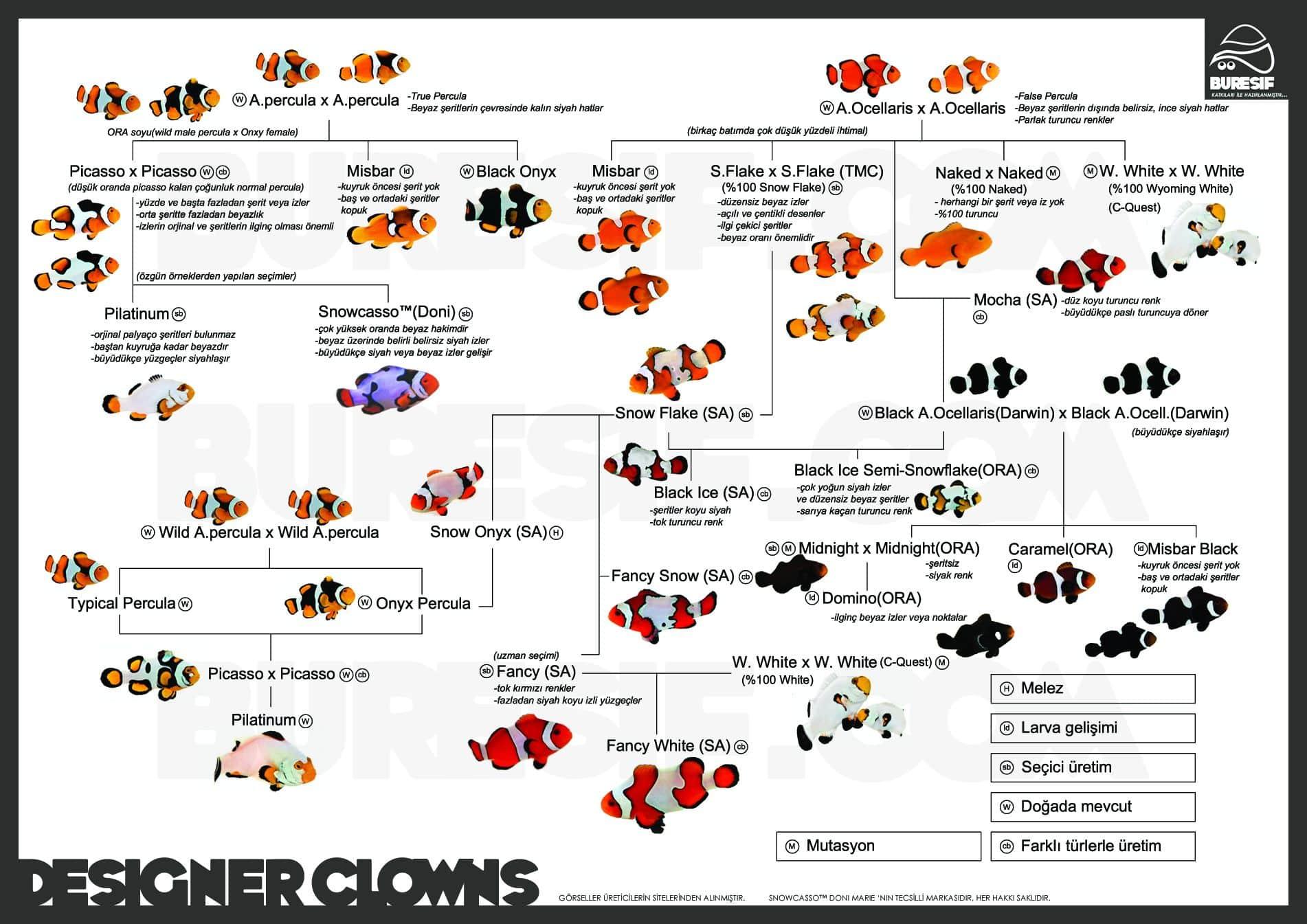 Amphiprion ocellaris (Peixe Palhaço) variedades
