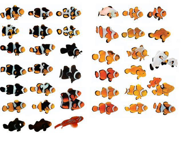 Fruto da genética do peixe palhaço