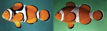 Características anatômicas das espécies adultas: peixe palhaço verdadeiro (Amphiprion percula) à esquerda, e do falso percula (A. ocellaris) à direita. Foto: Fishbase