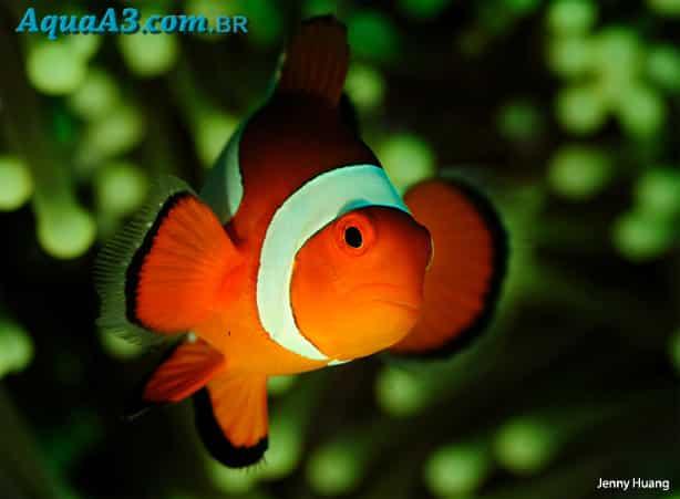 Amphiprion ocellaris (Peixe Palhaço)