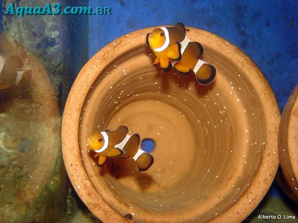 Peixe palhaço ovos em vaso