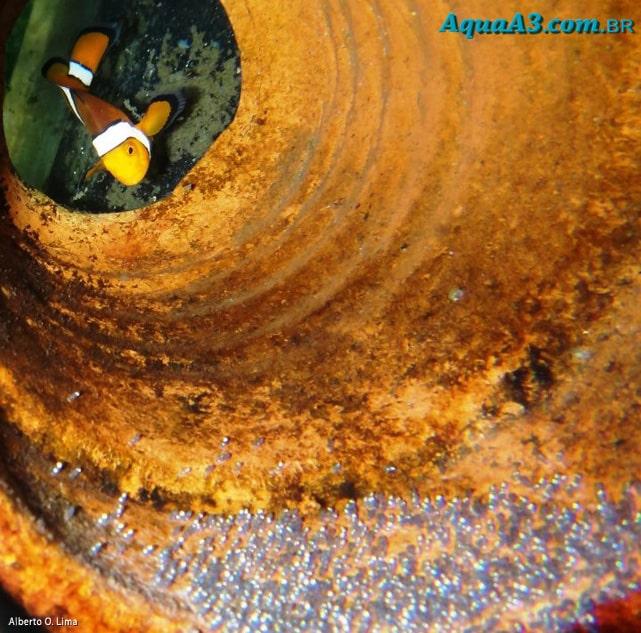 Amphiprion ocellaris (Peixe Palhaço) Peixe-2520palha-25C3-25A7o-2520ovos