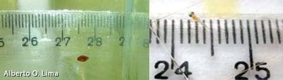 Amphiprion ocellaris (Peixe Palhaço) Peixe-palha-C3-A7o-filhote