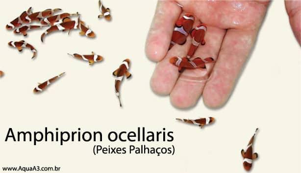 Amphiprion ocellaris (Peixe Palhaço) na mão