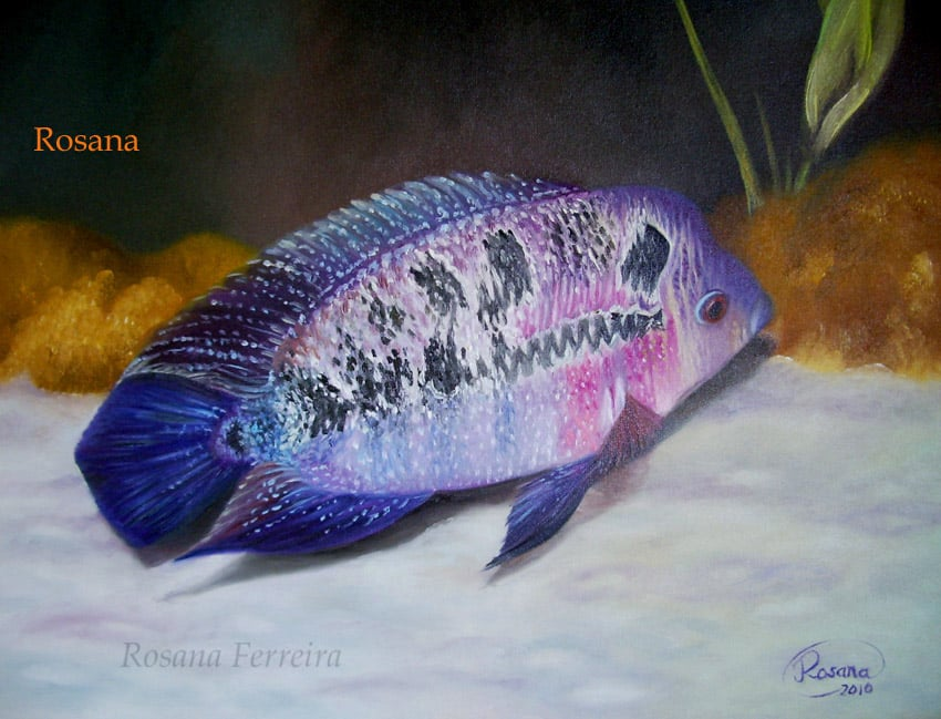 Arte no aquarismo - Flowerhorn