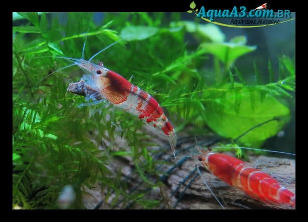 Red Crystals se alimentando de ADA original Red Bee Shrimp Food.