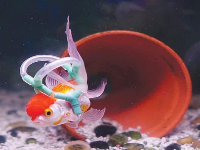 """O Peixe Kinguio chamado """"Einstein"""" é salvo usando Salva-Vidas."""