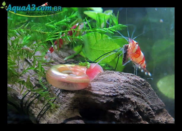 Caramujo Red Ramshorn e Red Crystal.