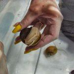 1 • Identificando o sexo da Ampulária (Pomacea diffusa).