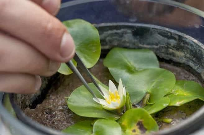 A menor e mais rara Nymphaea (Nymphaea thermarum) do mundo é roubada em Royal Botanic Gardens.