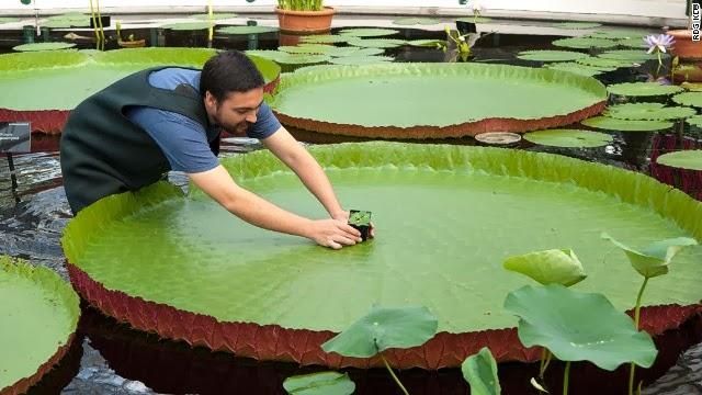 A menor e mais rara Nymphaea (Nymphaea thermarum) do mundo é roubada em Royal Botanic Gardens.