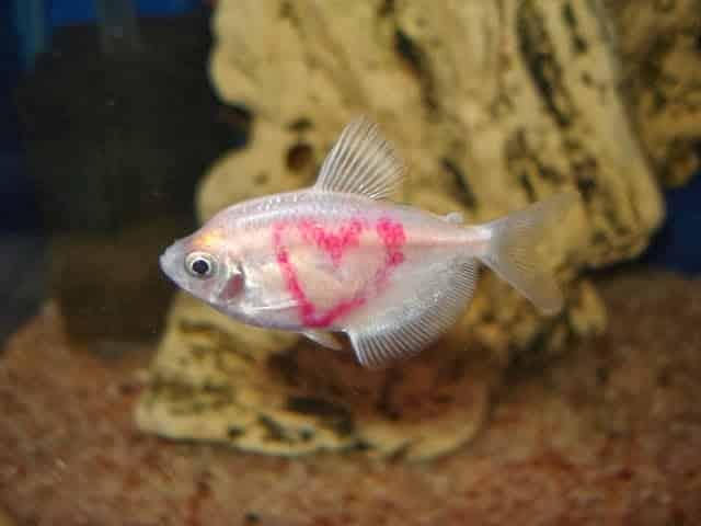 Peixes tingidos ou tatuados