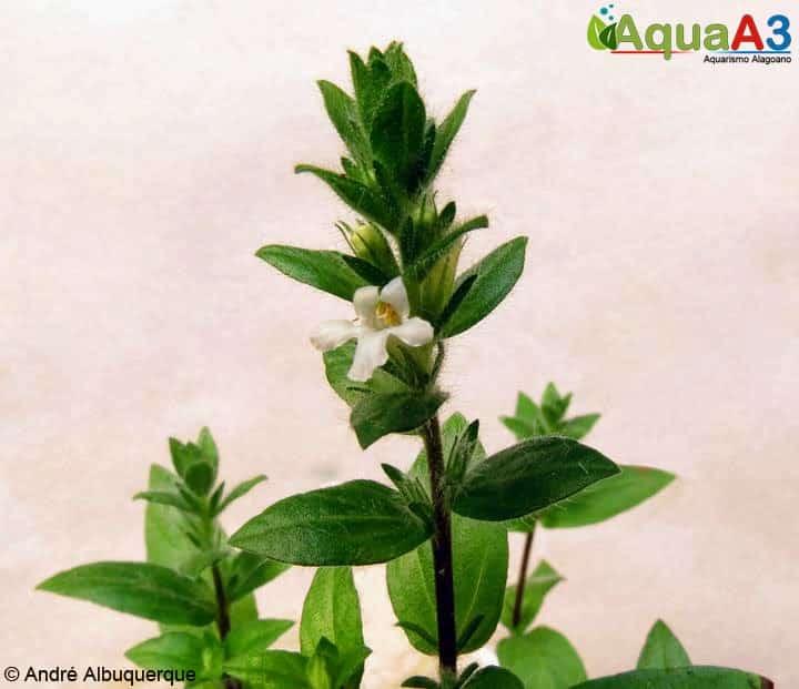 Staurogyne flor