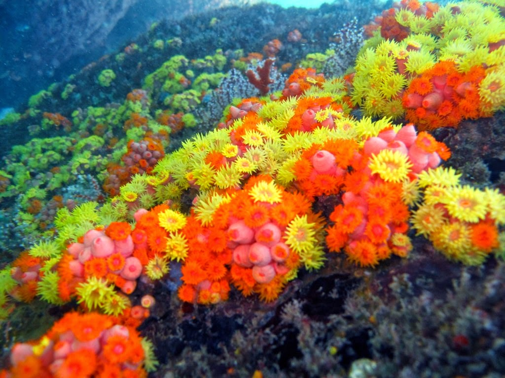 Coral-sol: Uma praga iminente.