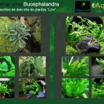 """vers C3 A3o 2 • Sorteio de dois kits de plantas """"low"""" com Bucephalandra."""