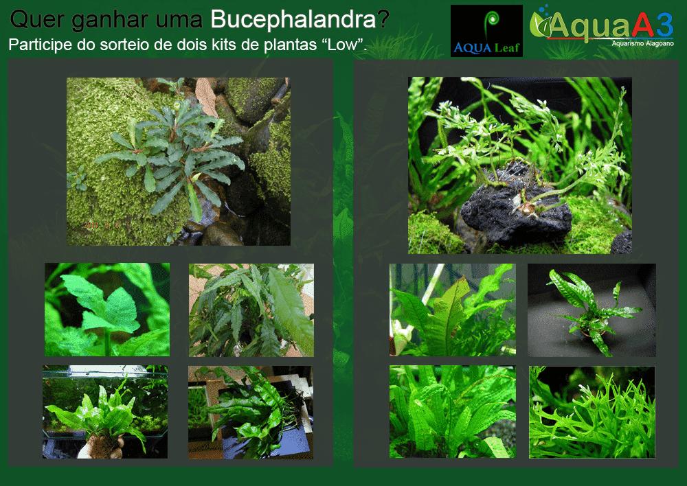 """Sorteio de dois kits de plantas """"low"""" com Bucephalandra."""