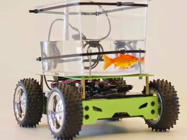 • Peixe Japonês aprende a 'dirigir' em aquário motorizado