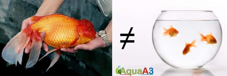 incompatibilidade peixe japones