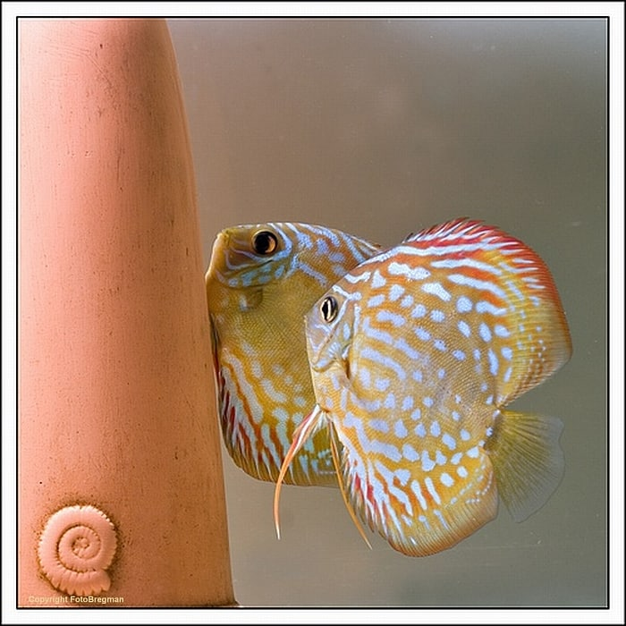1 Evolução Symphysodon aequifasciatus - Peixe Disco
