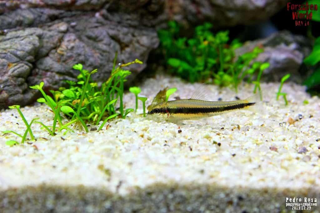 Comedor de Algas Siamês - Crossocheilus siamensis