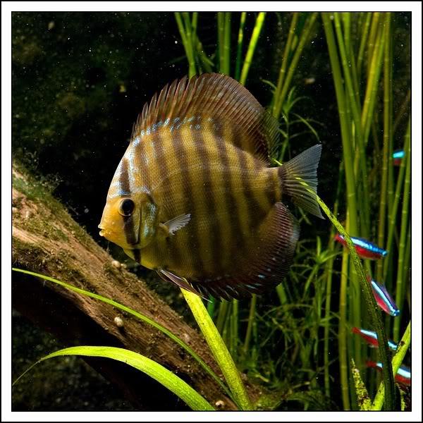 50 Evolução Symphysodon aequifasciatus - Peixe Disco