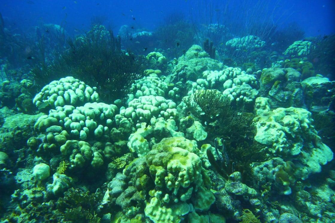 Corais no Caribe podem desaparecer em 20 anos