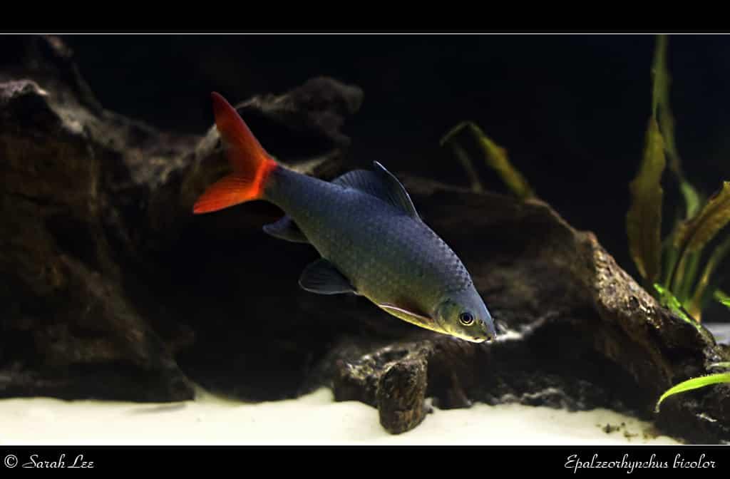 labeo bicolor (Epalzeorhynchos bicolor)