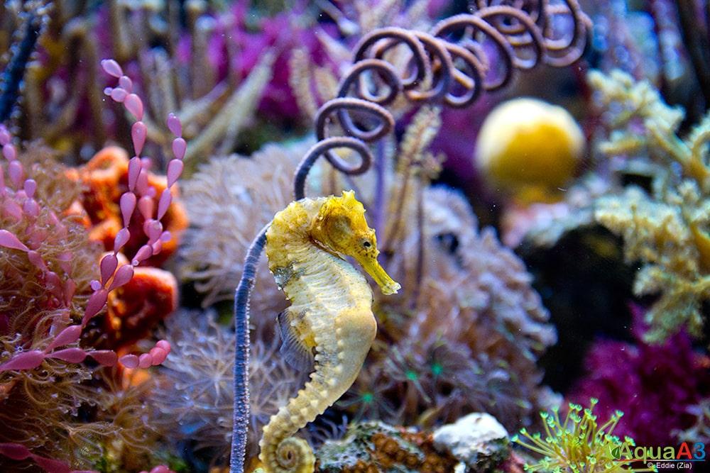 seahorse - Cavalo Marinho (Hippocampus erectus)