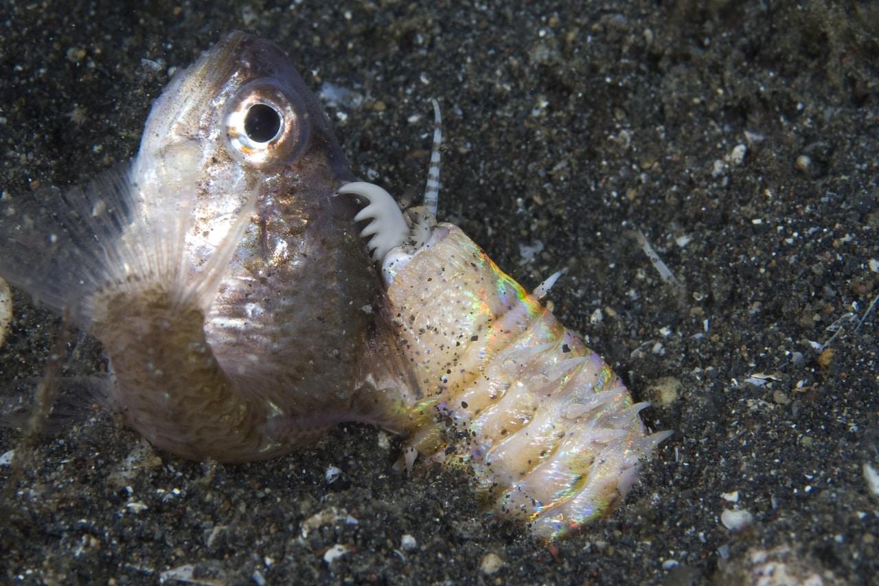 Eunice aphroditois comendo • Vídeo: Esse verme aquático (Eunice aphroditois) é verdadeiramente aterrorizante!