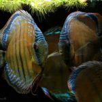 Peixe disco Santarem Discus • Brasil permitirá a criação de quase 2 mil espécies de peixes ornamentais