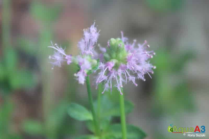 Pogostemon helferi flor flower
