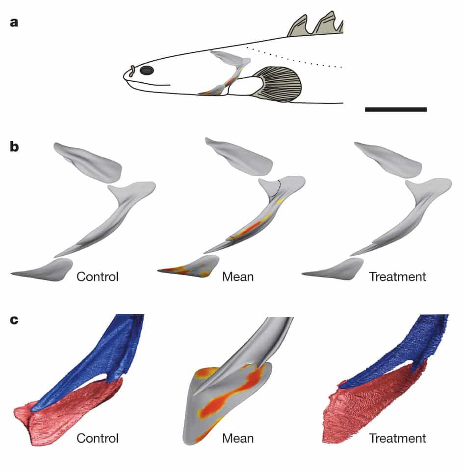 Polypterus senegalus Peixe ajuda a explicar a evolução das espécies