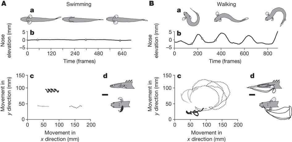 Polypterus senegalus evolução
