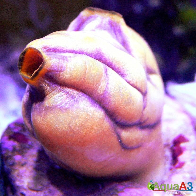 Sea Squirt (Polycarpa aurata)