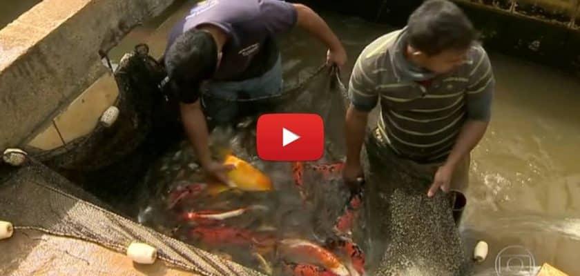 Criação de peixes ornamentais em Minas Gerais