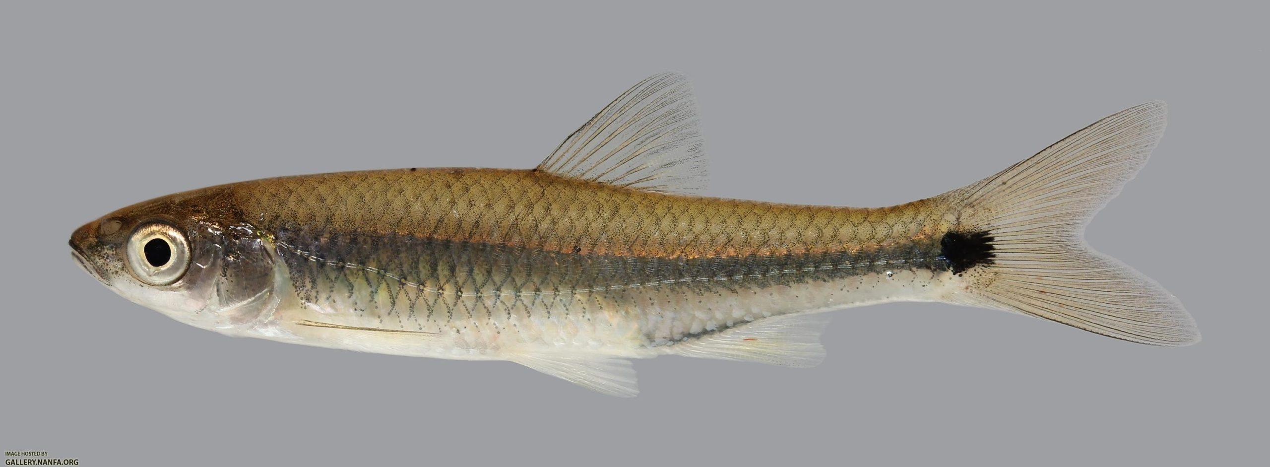 """Cyprinella venusta: Barulho humano obriga peixes a """"gritarem"""""""