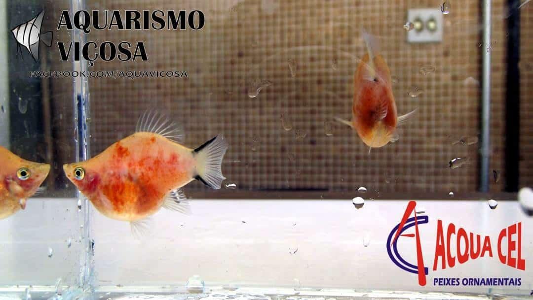 Minas Gerais: II Encontro de Aquarismo em Viçosa - Platy Blood Glass Balão
