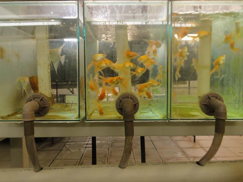 Laboratório de peixes ornamentais está sendo implantado na Escola de Veterinária 2