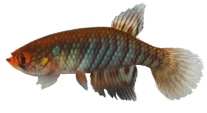 Papiliolebias francescae é a mais nova espécie descrita da família Rivulidae