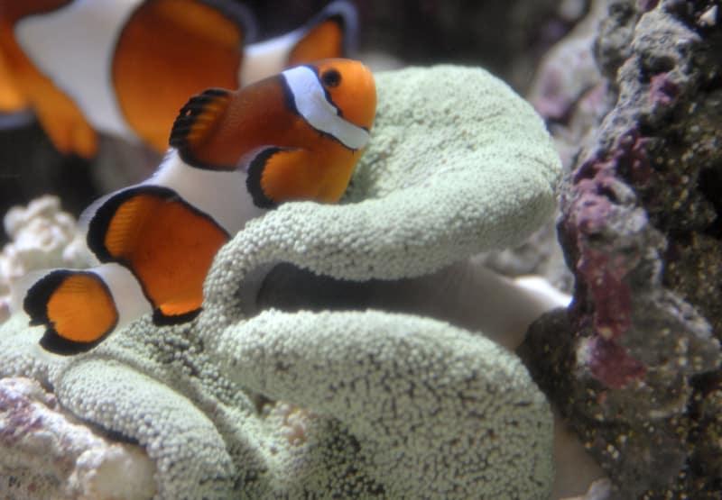 amphiprion percula • Palhaço pércula pode entrar em lista de espécies ameaçadas