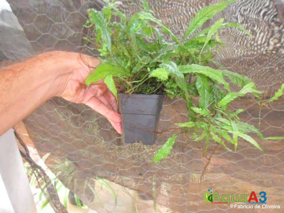 cultivo emerso de plantas low microsorum