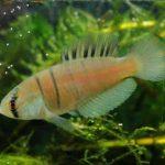 Austrolebias bagual 2 • Austrolebias bagual: Nova espécie da família Rivulidae descoberta no sul