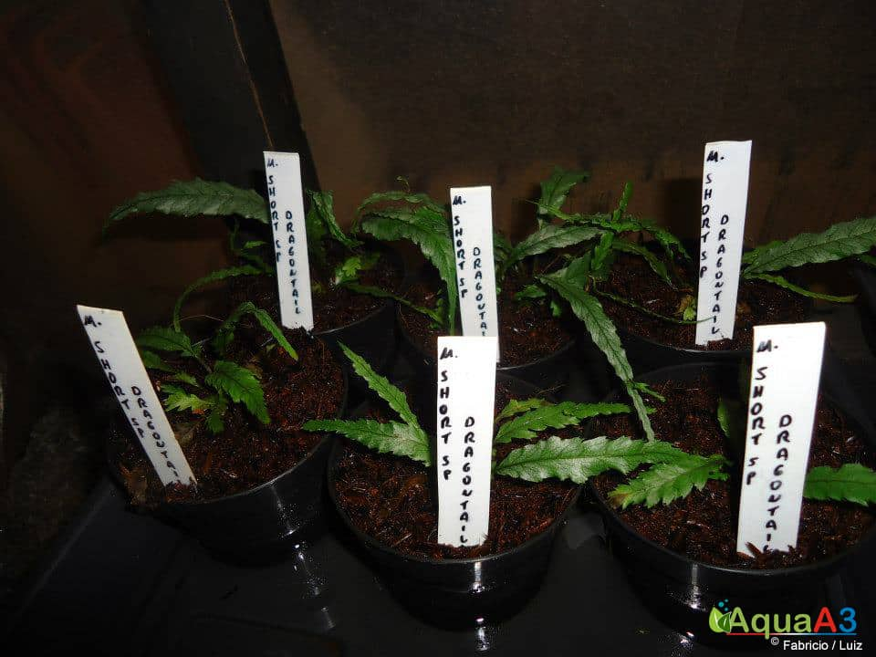 Cultivo de plantas emersas ditas como low-tech