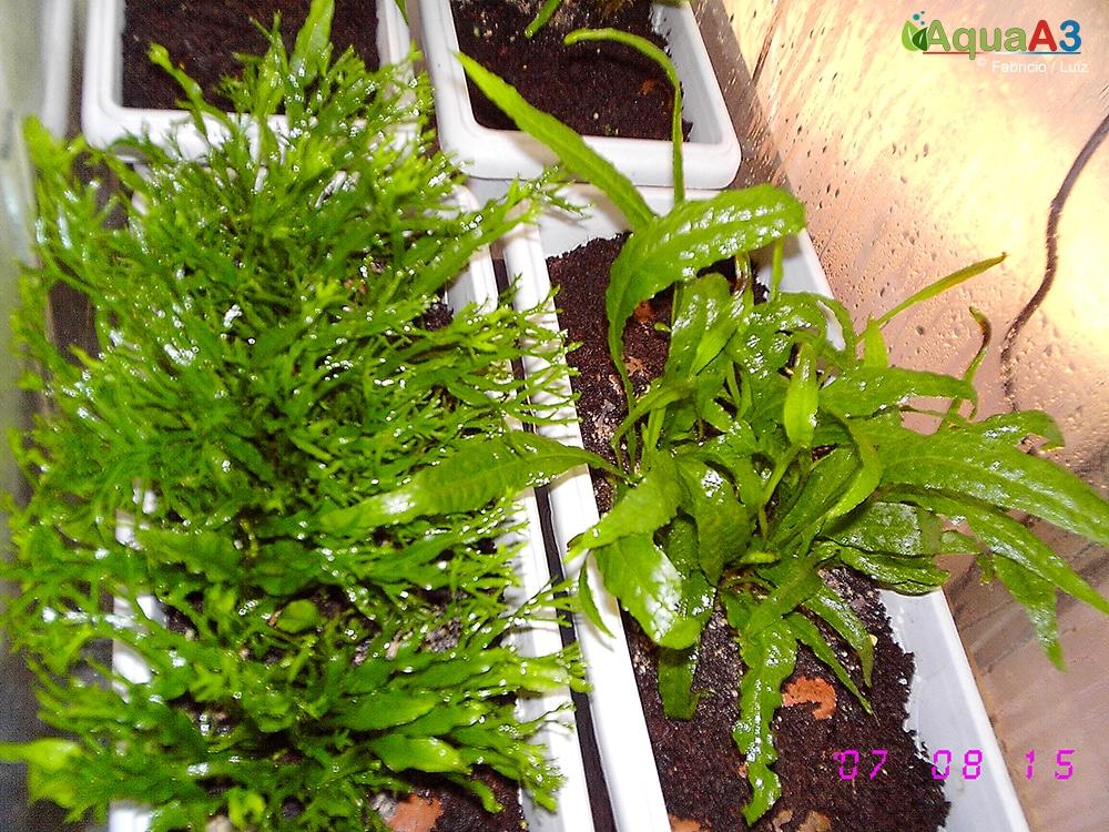 Cultivo de plantas emersas no espalhado na estufa