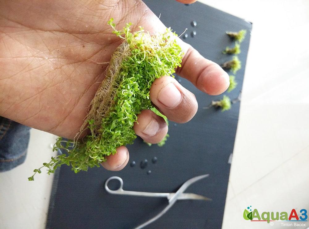 Passo a passo Como plantar Hemianthus callitrichoides cuba