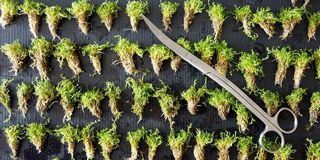 Passo a passo Como plantar Hemianthus callitrichoides cuba1 • Passo a passo: Como plantar Hemianthus callitrichoides cuba