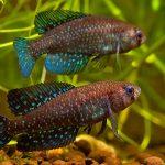 Austrolebias periodicus Las Cavas • Perguntas e respostas: Sobre a fauna aquática sob risco de extinção